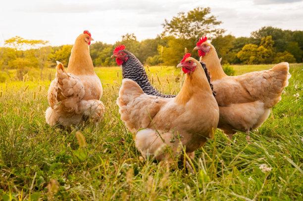 田地间的母鸡