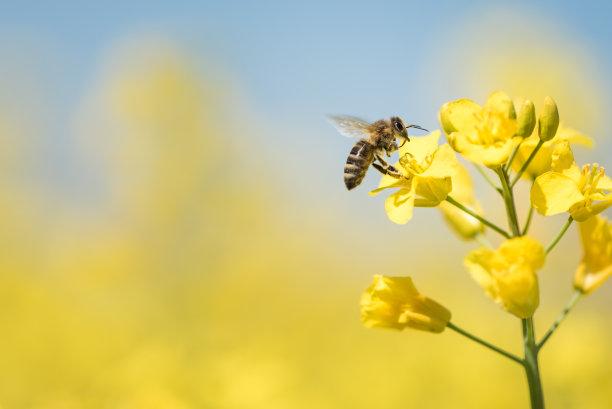蜂蜜蜜蜂春天