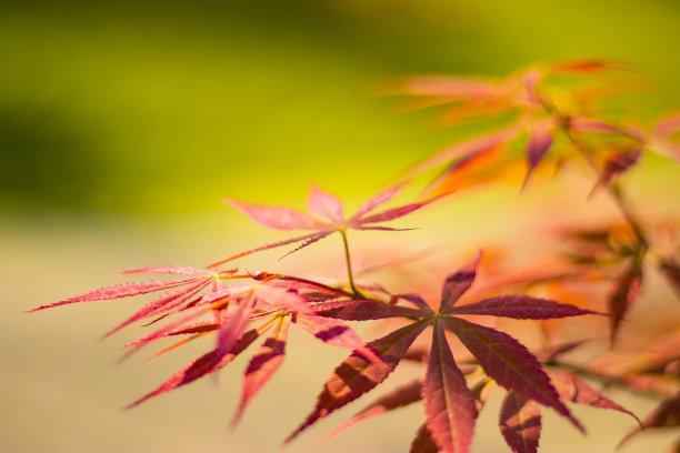红花槭天空黄金