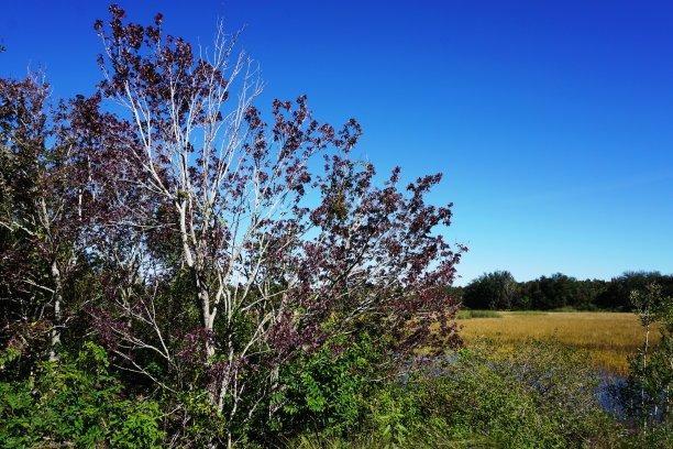红花槭天空万里无云