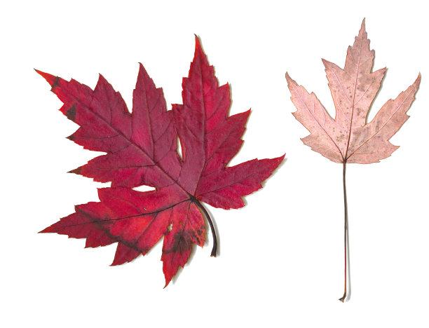 枫叶红松红花槭