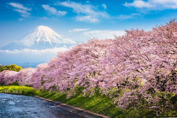 春天的富士山樱花林