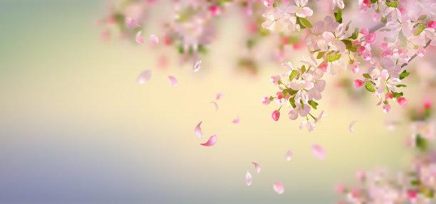 春天苹果花苹果树