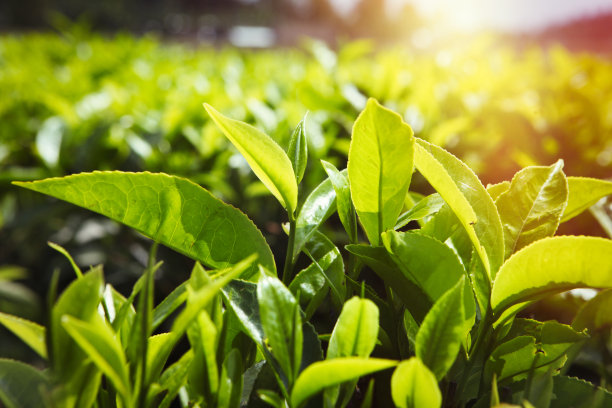 茶树水平画幅枝繁叶茂