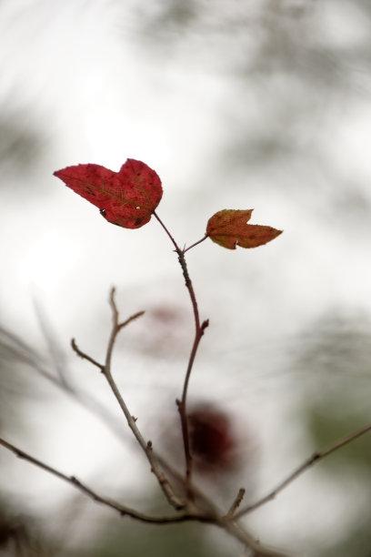 光背景虚化枫叶