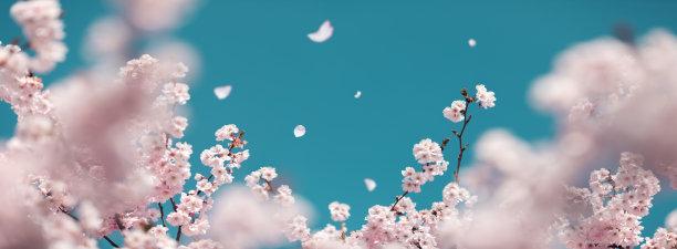 春天樱桃树樱花