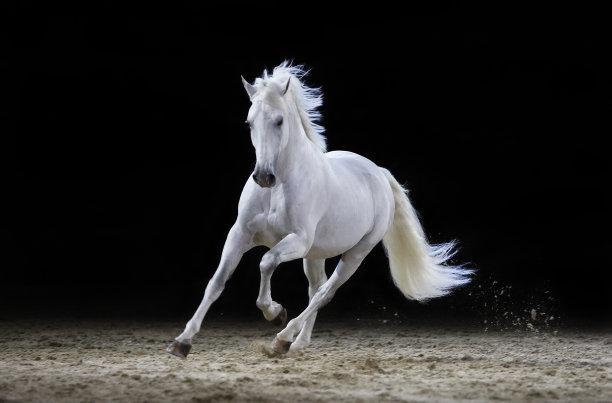 跑灰色种马