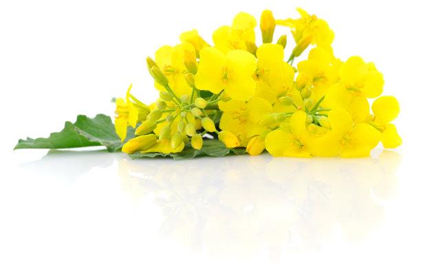 花朵芥菜田自然