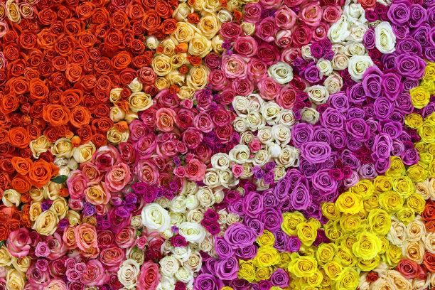 玫瑰自然美多色的