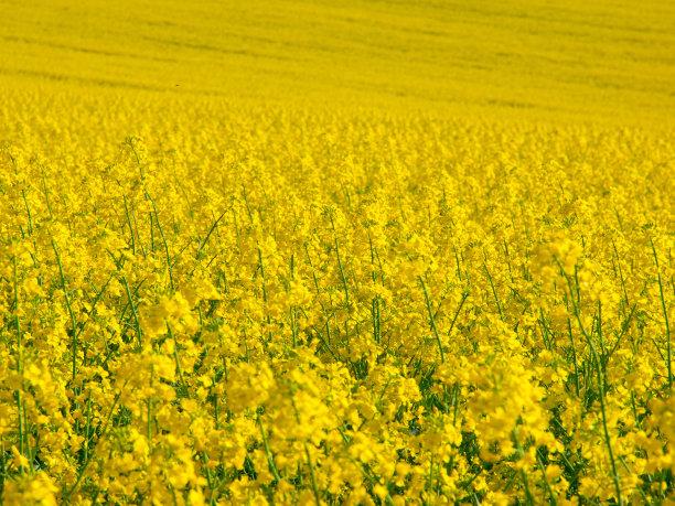 油菜花芸苔黄色
