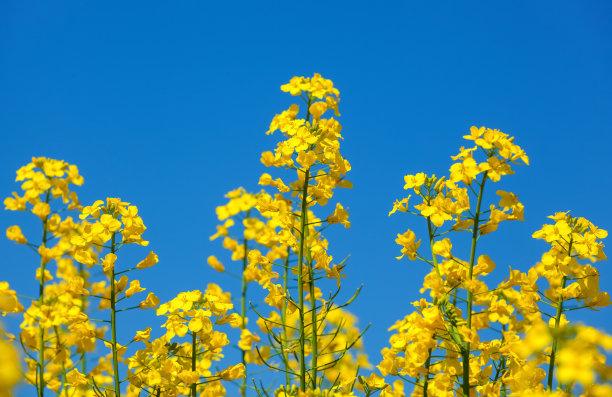 田地油菜花花朵