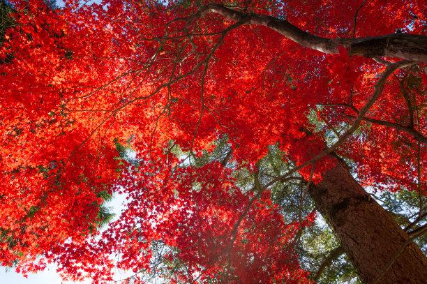 秋天日本叶子