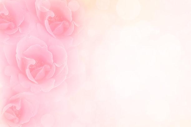 玫瑰粉色图片
