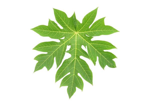木瓜叶子自然