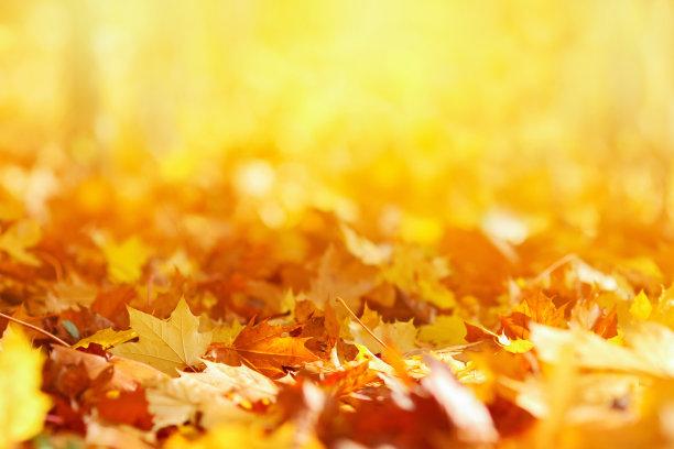 秋天的枫叶落叶背景