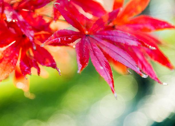 枫叶红色选择对焦
