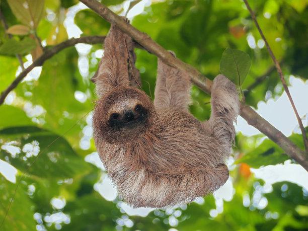 褐色三趾树懒热带雨林