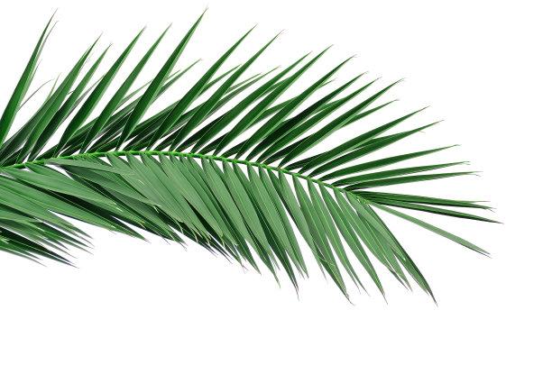 棕榈树叶子绿色