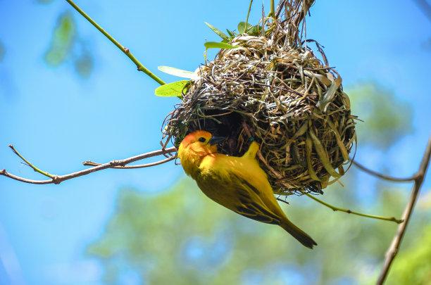 忙碌的织巢鸟