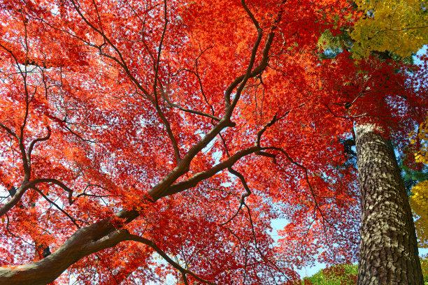 秋天日本鸡爪枫