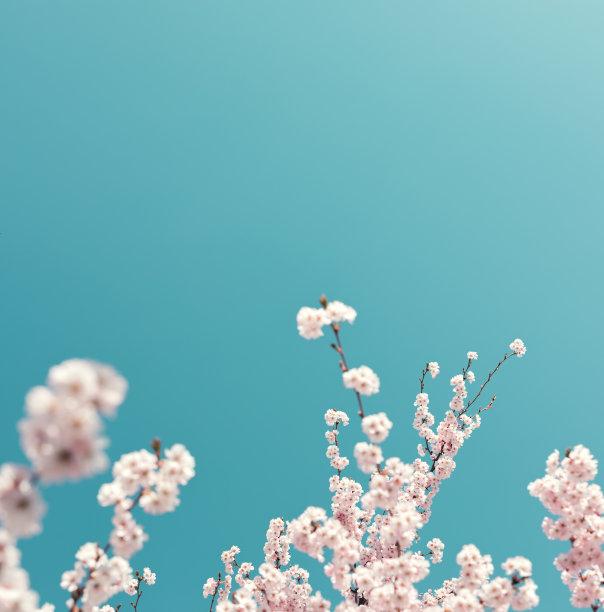 樱花树枝丫