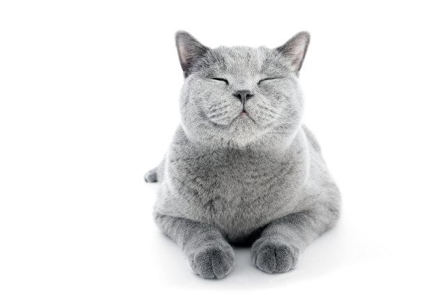 闭眼的蓝猫