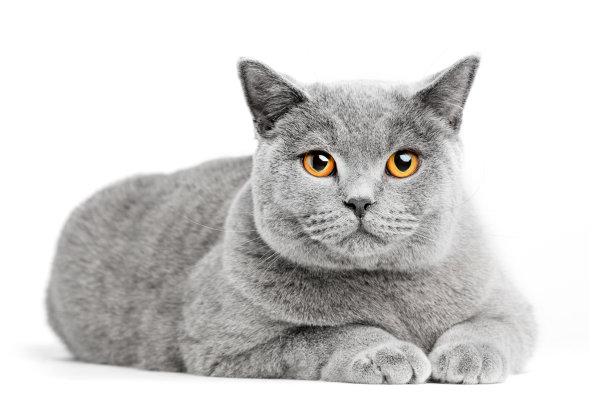 趴着的蓝猫
