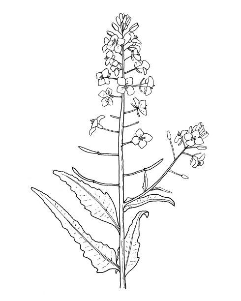 绘画插图手油菜花