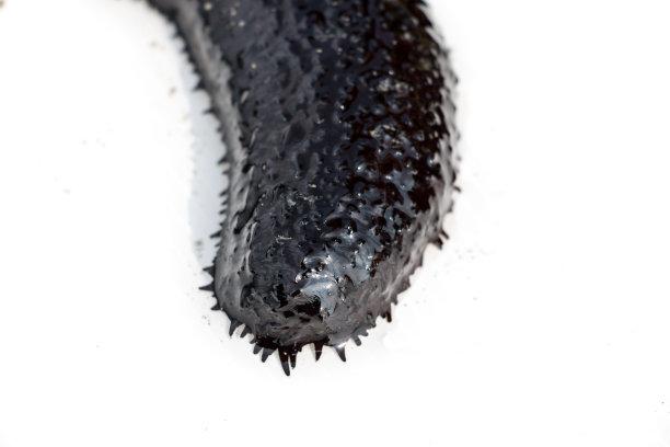 棘皮动物海参海洋