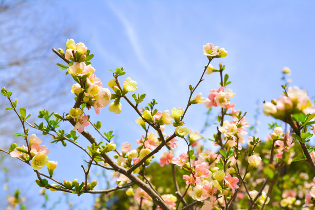 公园樱花自然