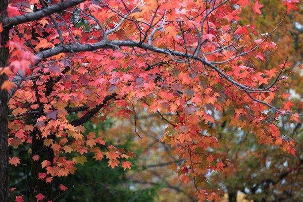 红花槭自然水平画幅