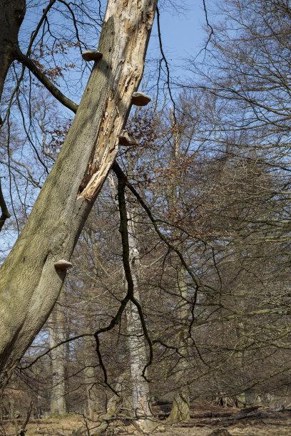 山毛榉树树干坏掉的