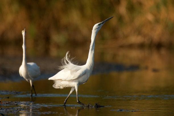鸟类小白鹭两只动物