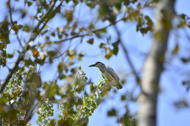 动物的巢灰色苍鹭水
