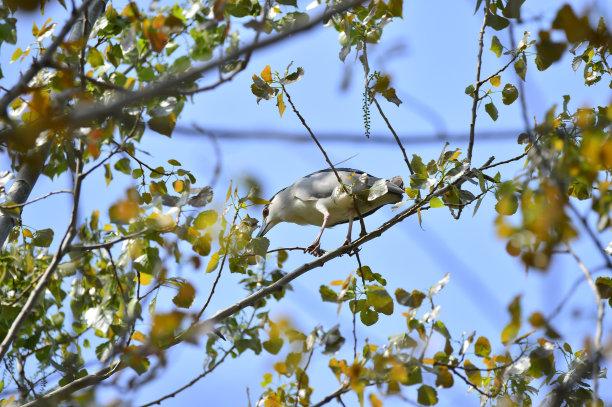 灰色苍鹭动物的巢水