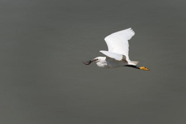 小白鹭水水平画幅