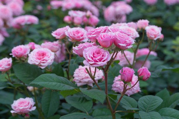 春天玫瑰花