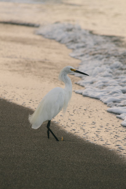 鸟类大白鹭垂直画幅