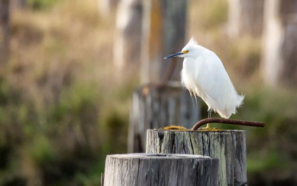 野外动物美国白鹭