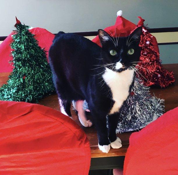 黑白猫可爱的无尾礼服