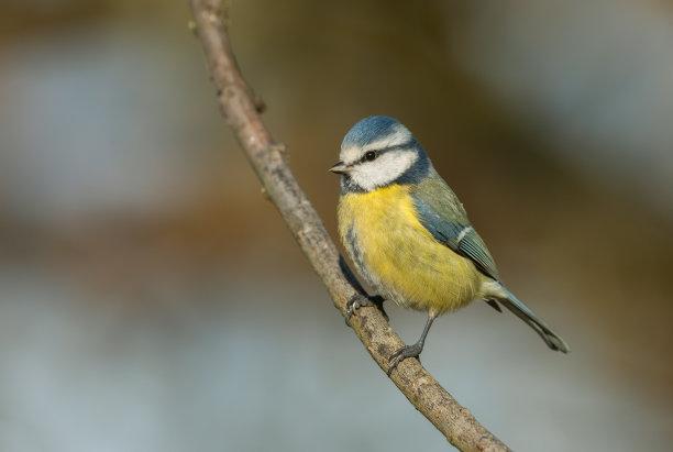 蓝山雀可爱的图片