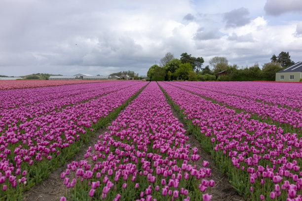荷兰郁金香