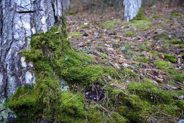 林区松树苔藓
