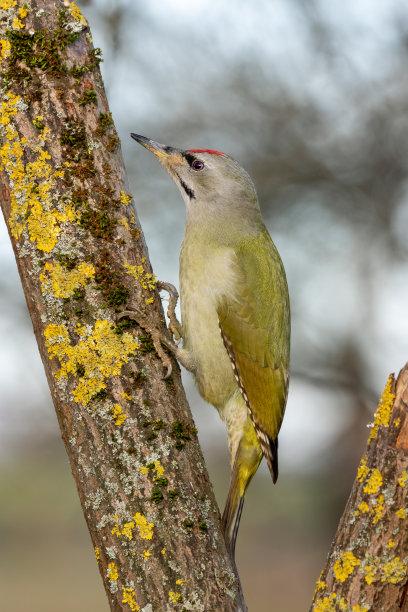 灰色啄木鸟图片