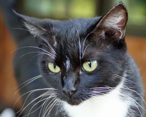 黑白猫可爱的肖像
