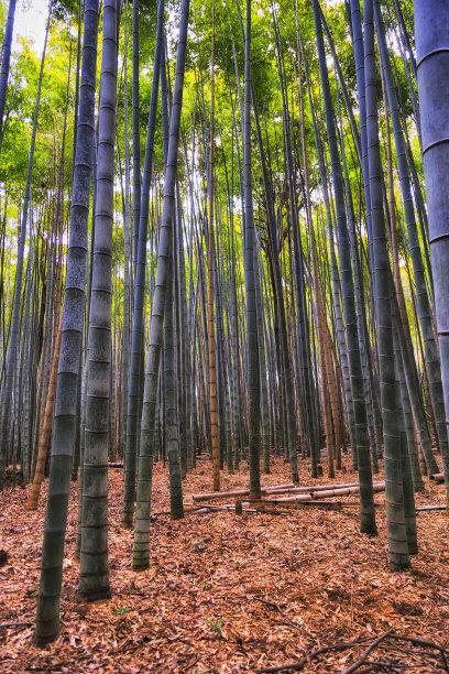 垂直画幅竹树林