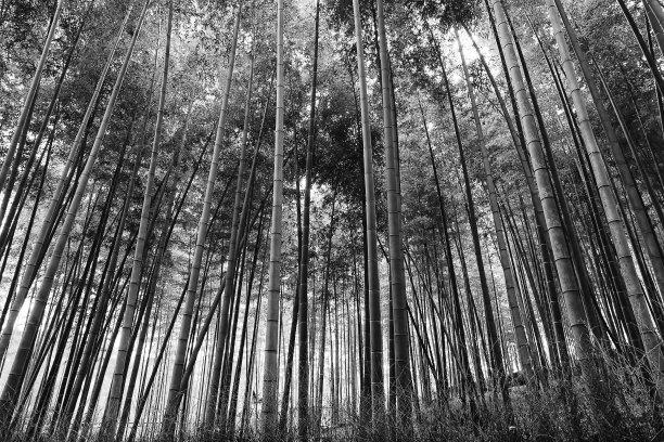 竹黑白图片植物群