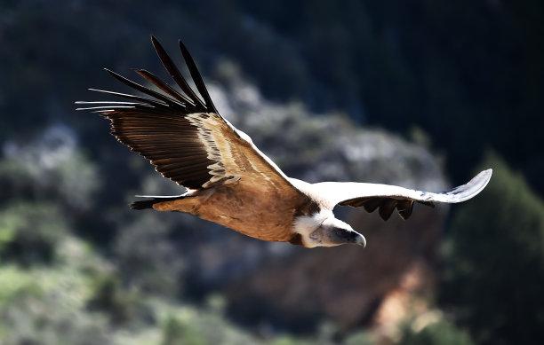 飞秃鹫图片
