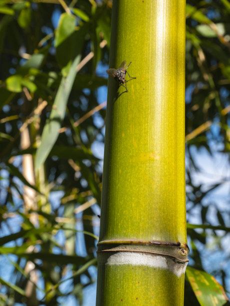 两翼昆虫竹生物学