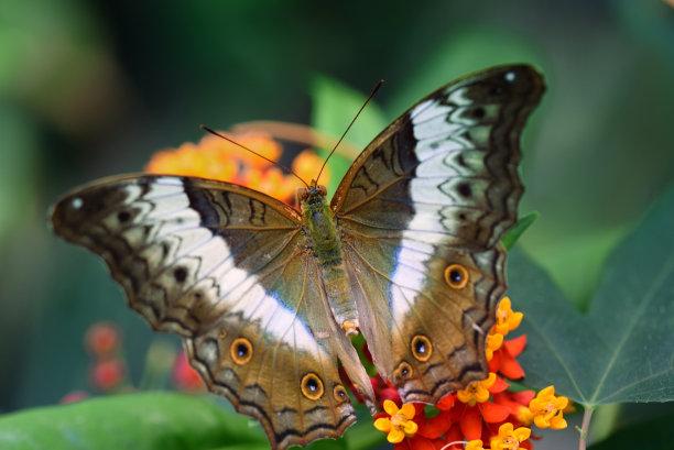叶子蝴蝶图片